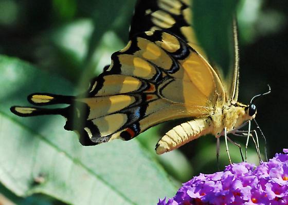 Giant Swallowtail, Finally! - Papilio rumiko - male