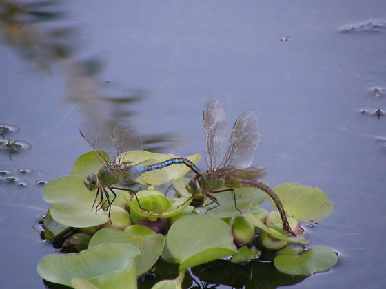 Common Green Darners - Anax junius