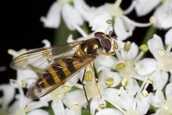 Fly (Syrphidae) - Meliscaeva cinctella - female