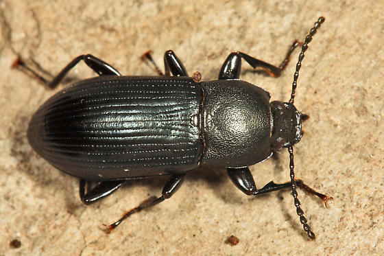Darkling Beetle - Centronopus calcaratus - male