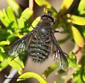 Bee Fly - Conophorus