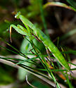 European Mantis? - Mantis religiosa - female