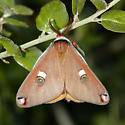 Garry's moth - Saturnia walterorum - male