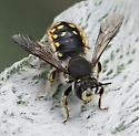 European Woolcarder bee_Anthidium manicatum - Anthidium manicatum - male