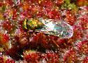 Tiny fly on encilia