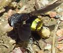 Golden-assed tachinid - Belvosia canadensis