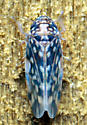 Xestocephalus superbus