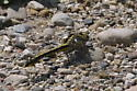 Midland Clubtail - Gomphurus fraternus - female