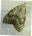 unknown moth - Meganola spodia
