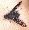Bee Fly specie? - Anthrax irroratus