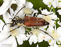 Another Lepturine - Anastrangalia sanguinea
