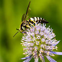 Sand Wasp - Bicyrtes quadrifasciatus - male