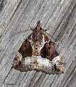 Moth on the shed wall - Hypena palparia