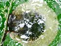 Wrightwood Park leaf miner on Vitis vulpina D2485 2020 6 - Aspilanta oinophylla