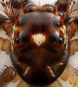 Jumping spider - Colonus sylvanus - male