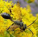 Sphecidae all black - Isodontia mexicana - male