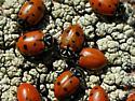 Ladybird Corroboree - Hippodamia convergens