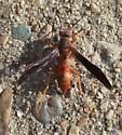 Coarse-backed Red Paper Wasp - Polistes rubiginosus - female