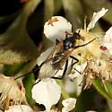 Fly - Rhamphomyia
