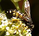 Horse Guard Wasp - Stictia carolina