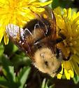 A specis in the Pyrobombus subgenus? - Bombus perplexus
