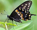 Black swallowtail?  - Papilio polyxenes - male