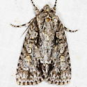 Clear Dagger Moth - Acronicta clarescens