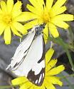 Pine White, Hoh Rainforest - Neophasia menapia