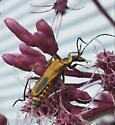 What is this?  - Chauliognathus pensylvanicus