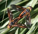 Bombyliid-Poecilanthrax effrenus ? - Poecilanthrax effrenus - male - female