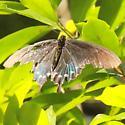 Pipevine Swallowtail - Hodges#4157 - Dorsal - Battus philenor