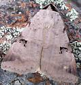 unknown moth - Lygephila victoria