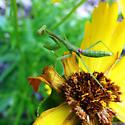 Praying Mantis - Stagmomantis