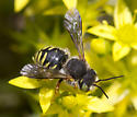 Wool carder bee - Anthidium oblongatum - male