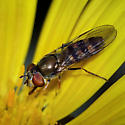 Syrphid Fly sp, female - Platycheirus - female