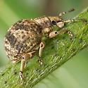 Broad-nosed Weevil? - Pseudocneorhinus bifasciatus