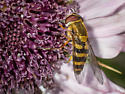 Hoverfly? - Syrphus