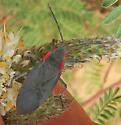 Melacoryphus? - Jadera haematoloma