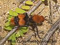 3026345 Mutillid - Dasymutilla occidentalis - female
