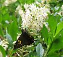 Orange marked moth/butterfly - Achalarus lyciades