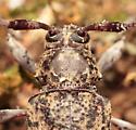 Longhorned Beetle - Graphisurus fasciatus - female