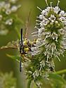 Wasp in Owens Valley - Crioscolia alcione