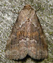 white-lined graylet moth - Hyperstrotia villificans