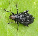 Systena frontalis - Red-headed Flea Beetle - Systena frontalis