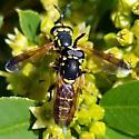 Ceriana tridens? - Ceriana tridens - male - female