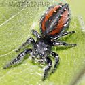 Phidippus Jumper - Phidippus johnsoni - female