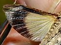 Bandwing at St. Vrain SP - Derotmema haydeni - male