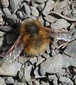 Bombylius - Bombylius aurifer - male