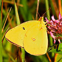 Sulfur Butterfly -  - Colias philodice