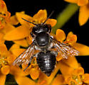 Bee on Butterfly Weed - Megachile mendica